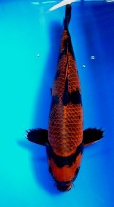 Pin by marie r on sealife pinterest butterfly koi koi for All black koi fish