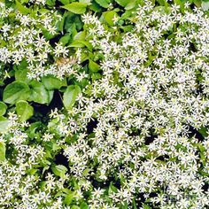 Unlike most other species of Fall Aster, this one is suitable for shady sites. A North American native wildflower, this grows well under shrubs and at the edge of woodland gardens. Laurel Plant, White Flowering Plants, Autumn Bride, Moon Garden, Woodland Garden, Aster, Native Plants, Geraniums, White Wood