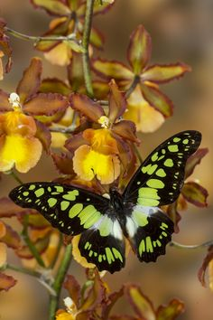 Tropical Butterfly, Graphium tynderaeus,  on Orchid & photographed by:  Darrell Gulin