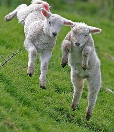 Leaping lambs.