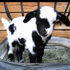 Baby goat in a bucket. Yes, please.
