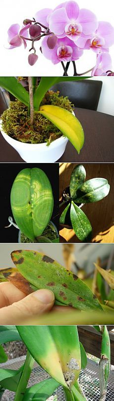 Болезни орхидей и их лечение | Образцовая Усадьба