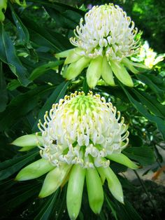 White Waratah (Telopea) Available May-Oct