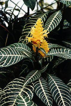 Zebra plant (Aphelandra squarrosa 'Louisae') - Buy it Now! Potted Plants, Indoor Plants, Flowering Plants, Types Of Species, Zebra Plant, Sensory Garden, Types Of Plants, Tropical Plants, Landscaping