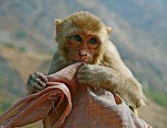 Monkey Temple in Jaipur, India.