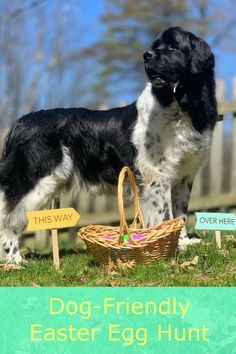A dog Easter egg hunt is a great and rewarding game for most dogs and if youre interested in throwing one for your Newf this year here are some tips to get you started!Create A Dog Easter Egg Hunt For Your Newf - My Brown Newfies Big Dogs, Large Dogs, Dog Easter Eggs, Dog Games, Large Dog Breeds, Egg Hunt, Training Your Dog, Dog Friends, Dog Mom