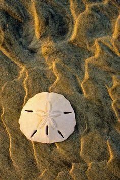 Sand Dollar, Kiawah Island, SC © Doug Hickok All Rights Reserved (Velvia slide film) Like a small gem offered up by the sea, a beautiful. Shell Beach, Ocean Beach, Sunset Beach, All Nature, Mundo Animal, Am Meer, Ocean Life, Beach Themes, Marine Life