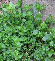 Fresh Chickweed Bath For Eczema Seasonal Allergy Symptoms, Seasonal Allergies, Growing Weed, Garden Weeds, Wild Edibles, Edible Plants, Medicinal Plants, Native Plants, Herbal Remedies