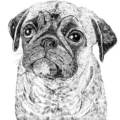 Ros Shiers - Frog The Pug Print (9.225 HUF) ❤ liked on Polyvore featuring home, home decor, wall art, animals, art, backgrounds, filler, pug home decor, animal illustration and pug wall art