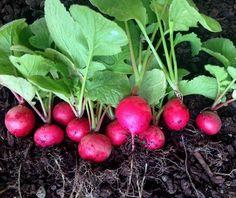 Como Cultivar RABANETE CHERRY BELLE