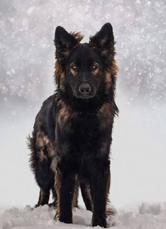 Wicked Training Your German Shepherd Dog Ideas. Mind Blowing Training Your German Shepherd Dog Ideas. Black Shepherd, German Shepherd Dogs, German Dogs, Black Sable German Shepherd, Black German Shepherds, Long Haired German Shepherd, Shiloh Shepherd, German Shepherd Colors, German Shepherd Pictures