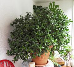 ∆ Feng Shui...Chinese Jade The Plant That Attracts Money ~ 'Jade plants are not usually grown for their blooms, but should they begin to flower, it is the result of great care given to the plant, and therefore the friendship. Blooming jade plants reflect positively on the owner, his or her friends and family symbolizing great friendship, luck or prosperity.'