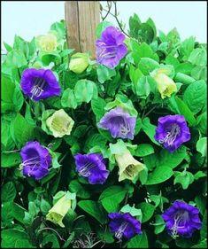 Cobaea scandens (cup and saucer vine) - planter box/trellis