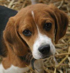 beagle (AKA:  Reese's or Weezie--hey, sometimes names evolve!  LOL)