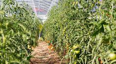 Grădina de la țară - de la pasiune la o mică afacere de familie - gardenbio.ro Cosmos, Colorado, Tropical, Herbs, Organic, Cottages, Gardening, Sun, Agriculture