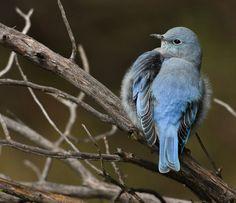 Verm-Mtn-Bluebird-San-Juans-3314
