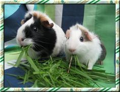 Jackie's Guinea Pigs- BEST WEBSITE FOR COMPREHENSIVE & GOOD QUALITY INFO ON EVERYTHING PIG