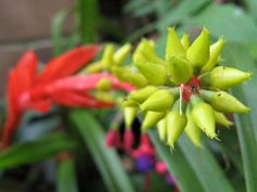 Aechmea nudicaulis (cskk) Tags: red flower yelow bromeliad bromeliaceae aechmea nudicaulis