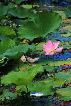 京都大覚寺の大沢池の見事な蓮
