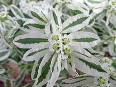 Snow on the mountain or variegated spurge (Euphorbia marginata), summer 2014 at Idaho Botanical Garden in Boise, Idaho.