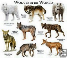 Wolves of the world . One thing, though. Ethiopian wolves are canids, but not actual members of the wolf species. All true wolves (including domestic dogs) are listed under CANIS LUPUS, while the Ethiopian wolf is listed under CANIS SIMENSIS.