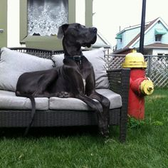 Blue Great Dane 'Ares' with personal fire hydrant... The envy of all male dogs!