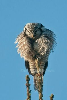 Hawk Owl by Douglas Brown. That owl must have quite a prize meal in sight as that looks very, very uncomfortable and precarious for anyone else. Nature Animals, Animals And Pets, Cute Animals, Beautiful Owl, Animals Beautiful, Nocturnal Birds, Owl Pictures, Owl Bird, Tier Fotos