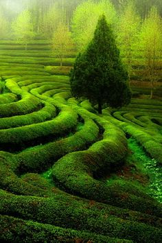 single tree, rows or green tea, beautiful. such texture!
