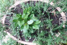 Gabriela Pastro Olá, pessoal! Hoje vamos falar sobre plantas companheiras e antagônicas. Este é um tema pouco conhecido por boa parte dos hortelões iniciantes, mas o seu conhecimento é milenar e é …