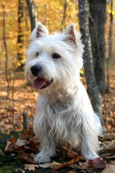 Adopt One of These 20 Types of Hypoallergenic Dogs for Endless Cuddles - West Highland White Terrier (Westie) - DOGS Best Small Dog Breeds, Best Small Dogs, Dog Breeds That Dont Shed, Cute Small Dogs, Cute Dogs Breeds, Dog Breeds List Of, Small Breed Dogs, West Highland Terrier, Highlands Terrier