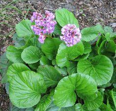 plantes d'ombre - bergénie à fleurs mauves pour vivifier la déco extérieure