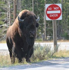 Wyoming bison (I would seriously reconsider)
