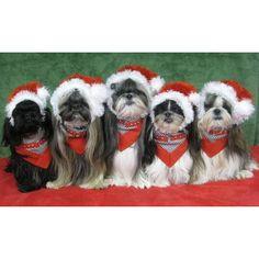 Events > Ohio Fuzzy Pawz Shih Tzu Rescue Pictures With Santa Claus > Carroll, OH > Lancaster Eagle Gazette