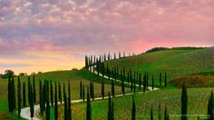 Tuscan Cypress Trees, Val dOrcia Region, Italy