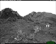 Five wild snow leopards seen travelling together! Maybe a mother and her four cubs?