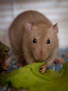 Pet_rat_eating_salad_leaves.jpg (900×1196)