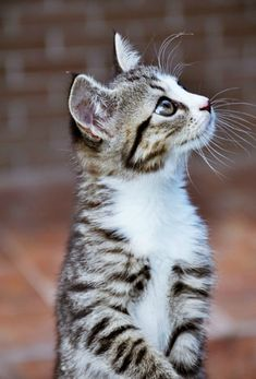 Kitten, kitty, killing, stribed, pet, cute, nuttet, sweet, fluffy, furry, beauty, photograph, photo