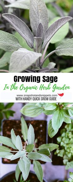 Growing Sage in the Organic Herb garden is easy- growing it from seed is harder but learn how to grow from cuttings and layering and enjoy this tasty herb. #organicgardenhowto