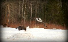 We have great eagle watching opportunities! #eagles #mainewinter #mainevacation