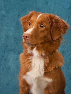 Pin By Zoe Nicole On Puppers Toller Dog Dog Breeds Papillon