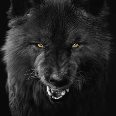 Wolf Images, Wolf Photos, Wolf Pictures, Wolf With Red Eyes, Wolf Eyes, Wolf Hybrid, Angry Wolf, Alpha Wolf, Wolf Artwork