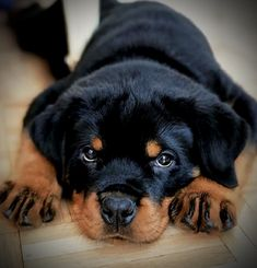 Rottweiler Quotes, Rottweiler Funny, Rottweiler Puppies, Baby Animals Pictures, Cute Animals, Search And Rescue Dogs, Cutest Puppy Ever, Rottweilers, Cute Images