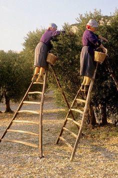 Harvesting olives, Les Baux-de-Provence, Bouches-du-Rhone, France