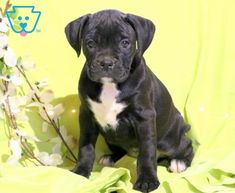Breeze | Boxer Puppy For Sale | Keystone Puppies