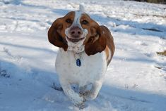 This makes me want to take pictures of my basset hound running.... so funny.