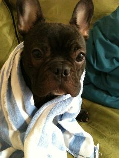 Frenchie pup after his bath.