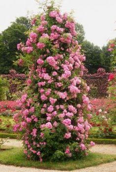 2 Main Tips on growing Climbing Roses