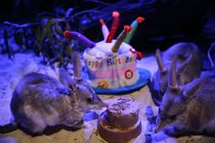 It was recently Healesville Sanctuary Bilby sisters, Cilla and Ruby's birthday! The girls turned 5 and celebrated with a cake of meal worms and chopped fruit!