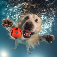 Some Helpful Ideas For Training Your Dog. Loving your dog does not mean you are willing to let him go hog wild on your possessions. That said, your dog doesn't feel the same way. Animals And Pets, Funny Animals, Cute Animals, Animals Images, Farm Animals, Underwater Dogs, Underwater Photos, Funny Dog Pictures, Funniest Pictures