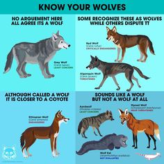 Fun facts about animals, animal facts, animals information, zoo animals, . Fun Facts About Wolves, Fun Facts About Animals, Animal Facts, Zoo Animals, Animals And Pets, Cute Animals, Reptiles And Amphibians, Mammals, Animals Information